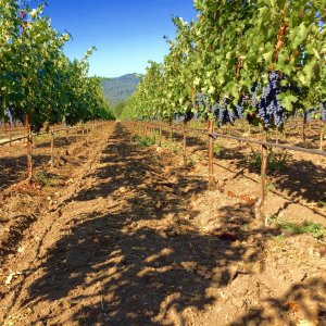duckhorn grapes tw 13816